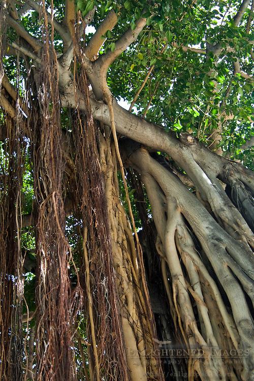 Banyan tree at Kuhio Beach Park, Waikiki Beach, Honolulu, Oahu, Hawaii