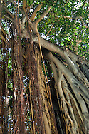 Banyan tree at Kuhio Beach Park, Waikiki Beach, Honolulu, Oahu, Hawaii