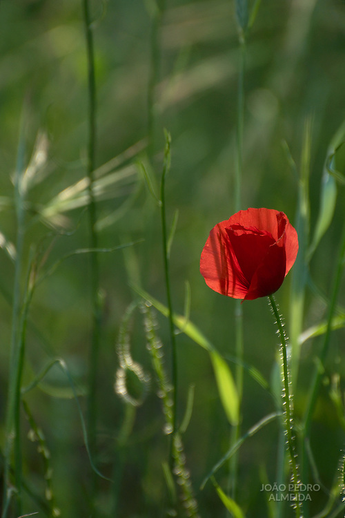 Poppies on a green meadow