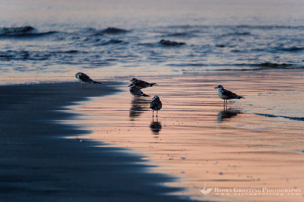 Norway, Sola. Common Gulls in morning light at Solastranden.