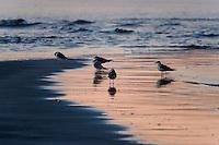 Norway, Sola. Common Gulls in morning light at Solastranden.