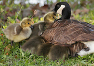 Middletown, New York - Canada goose goslings keep close to their mother to stay warm on a chilly spring morning, May 11, 2011.