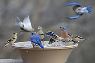 Eastern bluebirds and Goldfinches arrive and depart from a  birdbath.