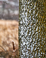 Snow on bark. Sourland Mountain Preserve in New Jersey. Image taken with a Nikon D300 camera and 18-200 mm VR lens (ISO 400, 200 mm, f/5.6, 1/320 sec).