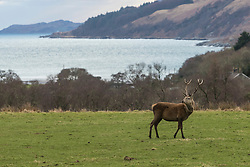A stag at Lussa Bay
