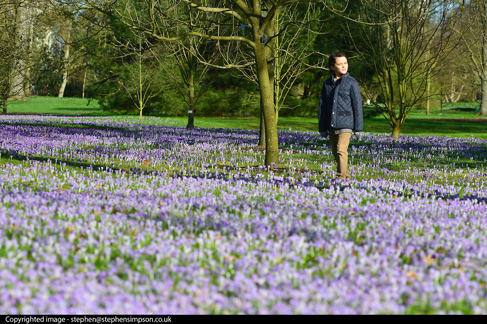 © Licensed to London News Pictures. 21/02/2014. Kew , UK. Jacob Simpson aged 10 walks in the colourful flowers. People walk through the spring crocus at Kew Garden's Surrey today 21 February 2014. Photo credit : Stephen Simpson/LNP