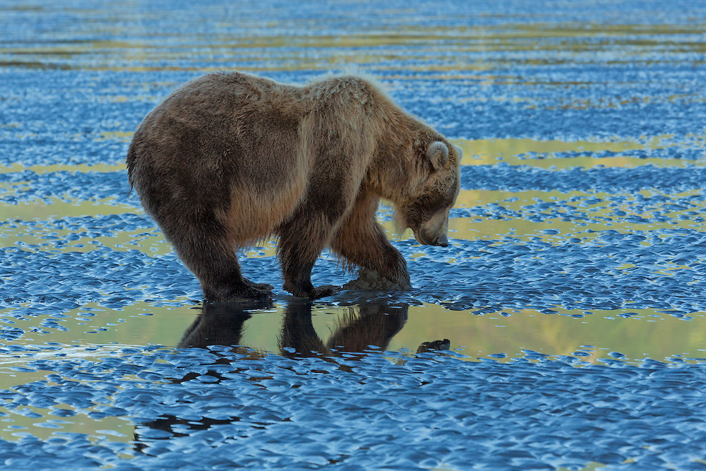 A Coastal Brown Bear (Ursus arctos) sow digs for razor clams on the mud flats along Cook Inlet as the sky and mountain reflect on the wet surface, Lake Clark National Park, Alaska
