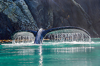 Humpback Whale fluke backlight at the Inian Islands and Cross Sound in Southeast Alaska.