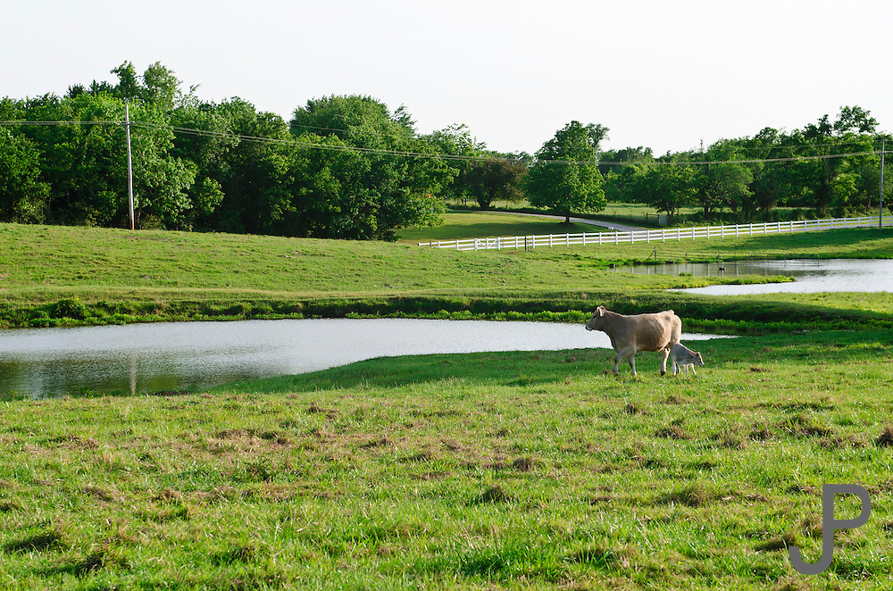 Cow and calf in front of pond near Henryetta, Oklahoma