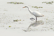 Great egret (Ardea alba) feeding in Kaziranga NP, India.