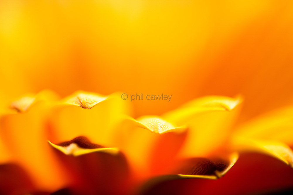 Abstract Gerbera Petals
