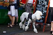 Een koningspoedel op de markt in Gouda