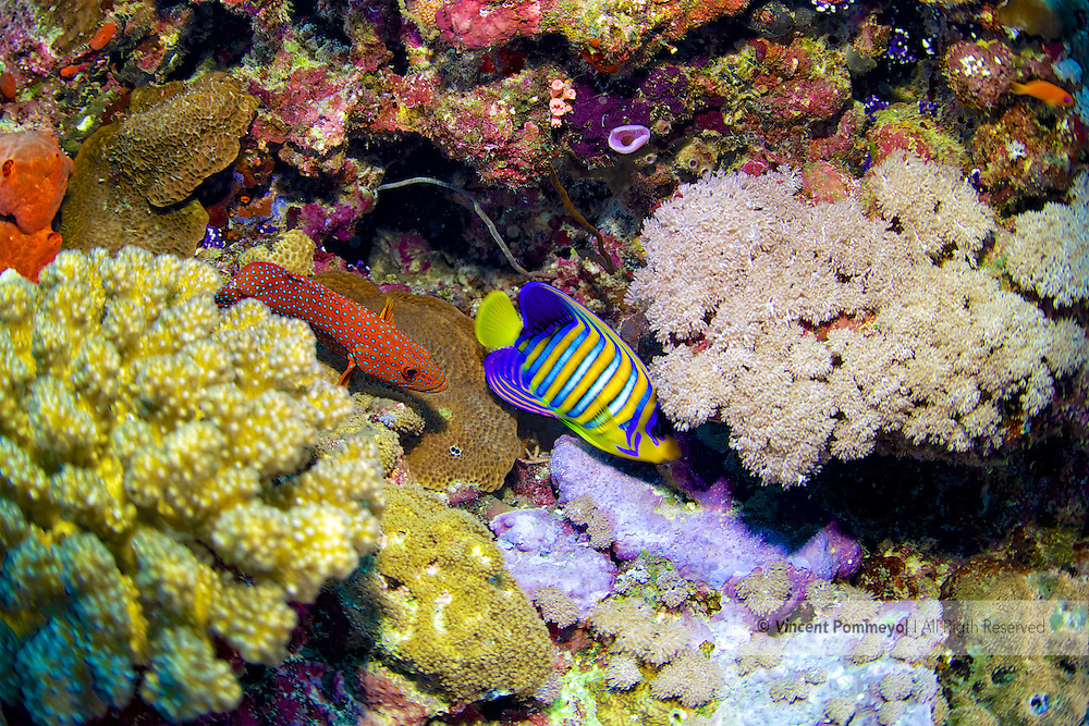 Royal angelfish-Poisson-ange royal (Pygoplites diacanthus), Red sea, Sudan.