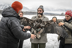 "Steve Lewis, Raptor Management Coordinator, U.S. Fish & Wildlife Service (left) explains how he wants to position a juvenile bald eagle (Haliaeetus leucocephalus) for a photograph that will help determine the age of the bald eagle. Photos of a juvenile bald eagle's molting, particularly in the head and tail feathers, can help determine its age before it reaches maturity due to the sequential molting pattern eagles experience during the first five years of their life. Rachel Wheat, graduate student at the University of California Santa Cruz (second from left), is conducting a bald eagle migration study of eagles that visit the Chilkat River for her doctoral dissertation. She hopes to learn how closely eagles track salmon availability across time and space. The bald eagles are being tracked using solar-powered GPS satellite transmitters (also known as a PTT - platform transmitter terminal) that attach to the backs of the eagles using a lightweight harness. Assisting with the holding of the bald eagle is Dr. Taal Levi, wildlife ecologist, Cary Institute of Ecosystem Studies (center) and Dr. Chris Wilmers, associate professor University of California Santa Cruz (right). The latest tracking location data of this bald eagle known as ""2Z"" can be found here: http://www.ecologyalaska.com/eagle-tracker/2z/ . During late fall, bald eagles congregate along the Chilkat River to feed on salmon. This gathering of bald eagles in the Alaska Chilkat Bald Eagle Preserve is believed to be one of the largest gatherings of bald eagles in the world."