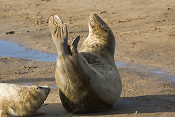 July 21, 2019 - Seals Lying On Beach (Credit Image: © John Short/Design Pics via ZUMA Wire)
