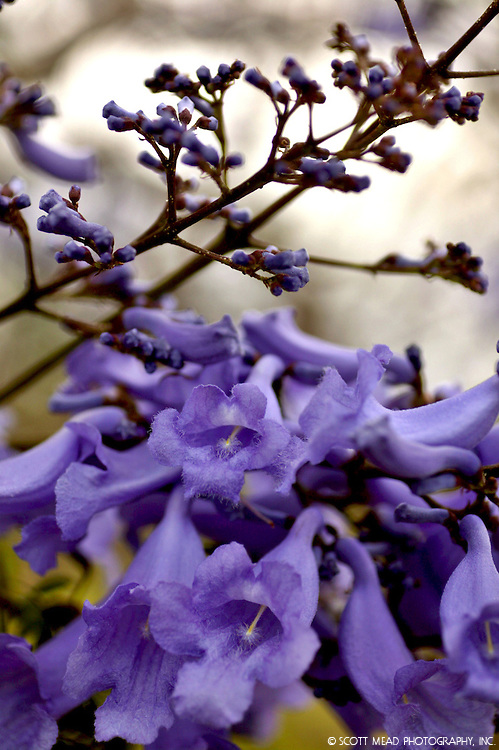 Purple flowers adorn a Jacaranda tree branch in Kula, Maui, Hawaii