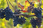 Vineyard Winnica Milosza near Zielona Gora ( Grunberg ) in western Poland ( traditional wine region ) photography Piotr Gesicki