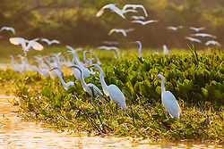 A congregation of great white egrets (Ardea alba) fishing in a marsh in early morning sunlight, Pantanal, Brasil, South America