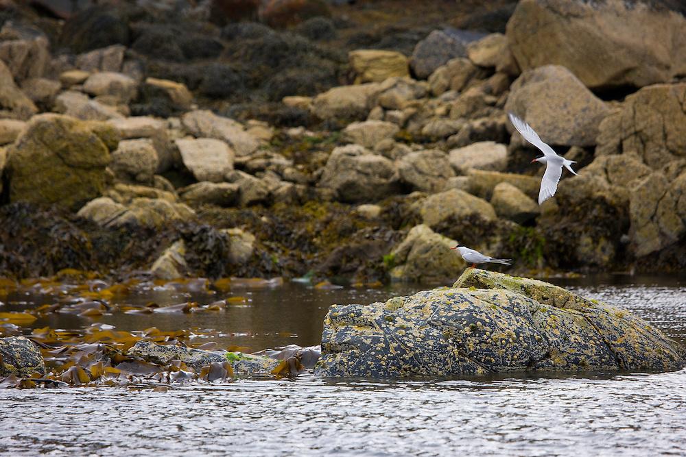 Common Tern, Charrán común (Sterna hirundo). Great Bernera. Lewis island. Outer Hebrides. Scotland, UK