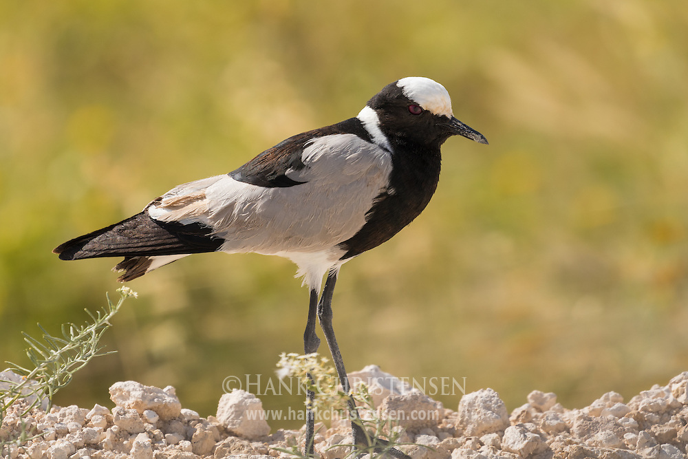 A blacksmith lapwing pokes at the dirt looking for food, Etosha National Park, Namibia.