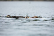 Two sea otters swimming