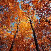 """Forest Canopy""<br />