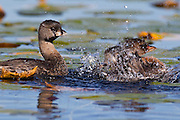 A pied-billed grebe (Podilymbus podiceps) watches its chick splash in the water of the wetlands of the Arboretum in Seattle, Washington. Pied-billed grebes rarely fly. They typically dive to escape danger.