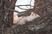 An albino Eastern gray squirrel in a tree.