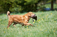 Retriever gundog trials British Columbia Canada