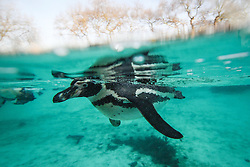 © Licensed to London News Pictures. 03/01/2017. London, UK. Humboldt Penguins seen beneath the water at the London Zoo annual stocktake. Photo credit: Rob Pinney/LNP