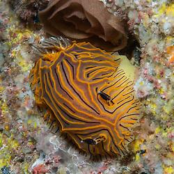 Kermadecs Marine Reserve Halgerda willeyi, Nudibranch, Unknown