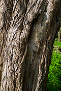 """Maidenhead, United Kingdom. General View, GV. Tree Bark, damaged,  lining """"The Cut""""  approach to Boulters Lock.<br /> <br /> Friday  06/04/2018<br /> <br /> © Peter SPURRIER<br /> Leica Camera AG M9 Digital Camera. ISO 80    Lens 35mm f1.4 Voigtlander Nokton Classic"""