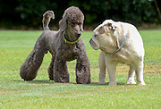Two pedigree puppies black miniature poodle (left) and English bulldog playing on the lawn