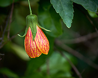 Flowering Maple flower (Chinese lantern, Abutilon spp.).  Backyard urban garden in St. Petersburg. Image taken with a Fuji X-T2 camera and 100-400 mm OIS lens (ISO 200, 400 mm, f/5.6, 1/210 sec).