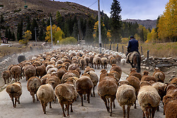 October 10, 2018 - Aletai, China - Herdsmen pasture sheep and cattle in Aletai, northwest China's Xinjiang Uygur Autonomous Region. (Credit Image: © SIPA Asia via ZUMA Wire)