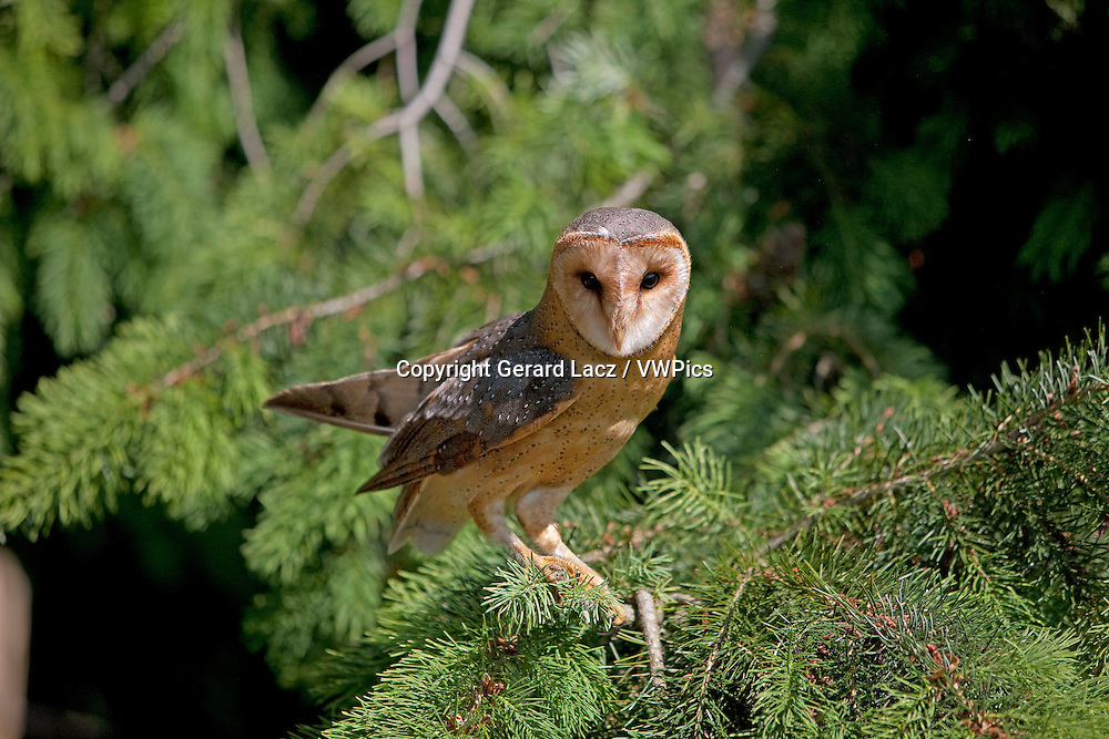 Barn Owl, tyto alba, Adult standing on Pine's Branch, Vendee in the West of France
