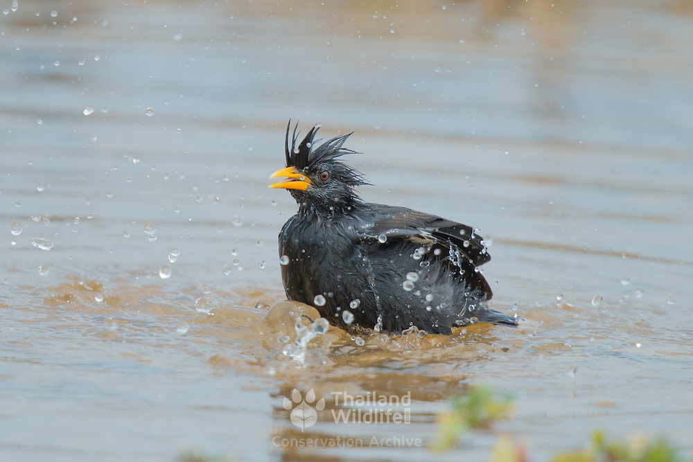 The great myna (Acridotheres grandis) is a species of starling in the Sturnidae family. It is found in northeast India and throu