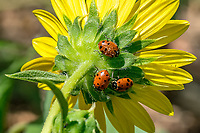 Convergent Lady Beetle, Hippodamia convergens <br />