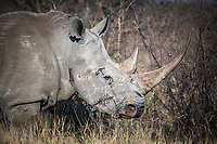 White Rhino Cow, Madikwe Game Reserve, North West Provonce, South Africa