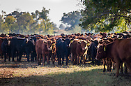 Oklahoma Quality Beef Network on farm livestock check