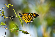 Return to Mexico ... Monarch Butterflies Leave Presqu'ile & Cross the Great Lakes