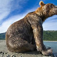 USA, Alaska, Katmai National Park, Remote camera view of Grizzly Bear (Ursus arctos) sitting along salmon spawning stream along Kukak Bay