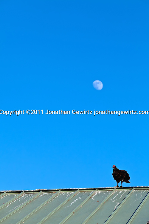 A turkey vulture (Cathartes aura) perches on a metal roof at Everglades National Park with the moon in the background. WATERMARKS WILL NOT APPEAR ON PRINTS OR LICENSED IMAGES.
