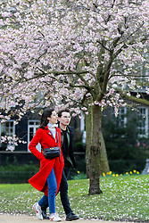 © Licensed to London News Pictures. 11/03/2020. London, UK. A couple walk under the Cherry tree in St James's Park as it starts to bloom. Photo credit: Dinendra Haria/LNP