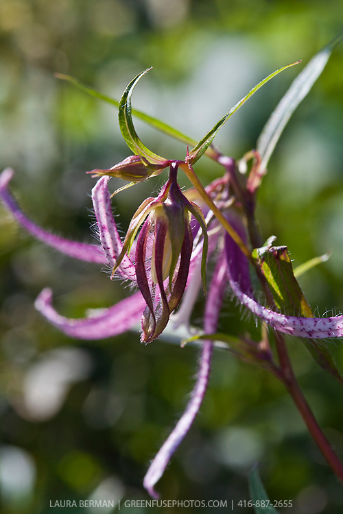 Pink Octopus campanula (Campanula 'Pink Octopus') .Buds appear like hanging Chinese lanterns and then open to fascinating octopus-like flowers on strong stems. Flowers progress to fully open.