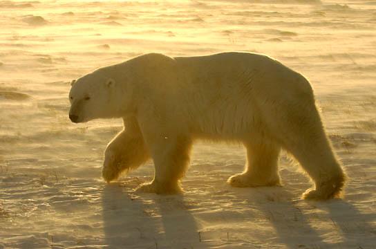 Polar Bear (Ursus maritimus) Near Cape Churchill, Manitoba. Canada. Winter.
