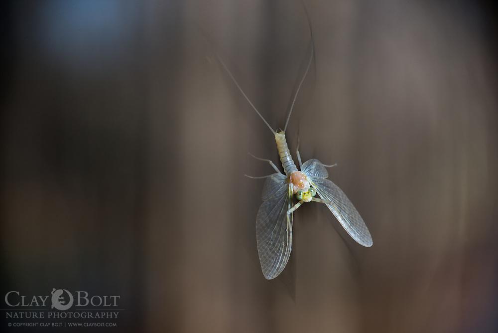 Mayfly in flight, South Carolina, Spring