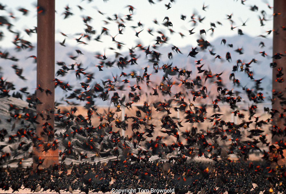 Red-winged blackbirds and Yellow-headed blackbirds swarm over feed in a grain storage and shipping facility