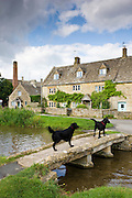 Labrador and Retriever dogs in popular tourist attraction village Lower Slaughter in The Cotswolds, Gloucestershire, UK
