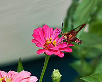 Clearwing Hummingbird Moth. Image taken with a Fuji X-H1 camera and 80 mm f/2.8 macro lens (ISO 200, 80 mm, f/4, 1/420 sec).